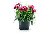 purple pink dianthus flower in flowerpot. white isolated background