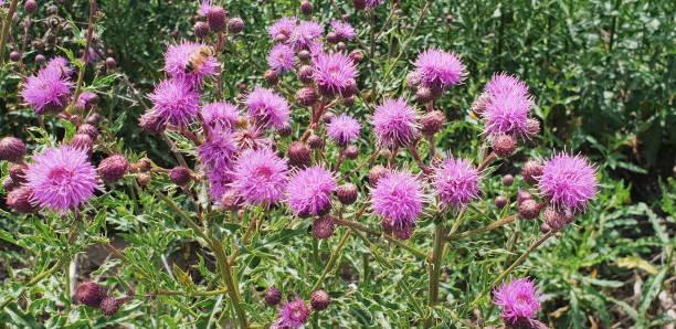 Purple pink  flowers of marsh thistle stock photo
