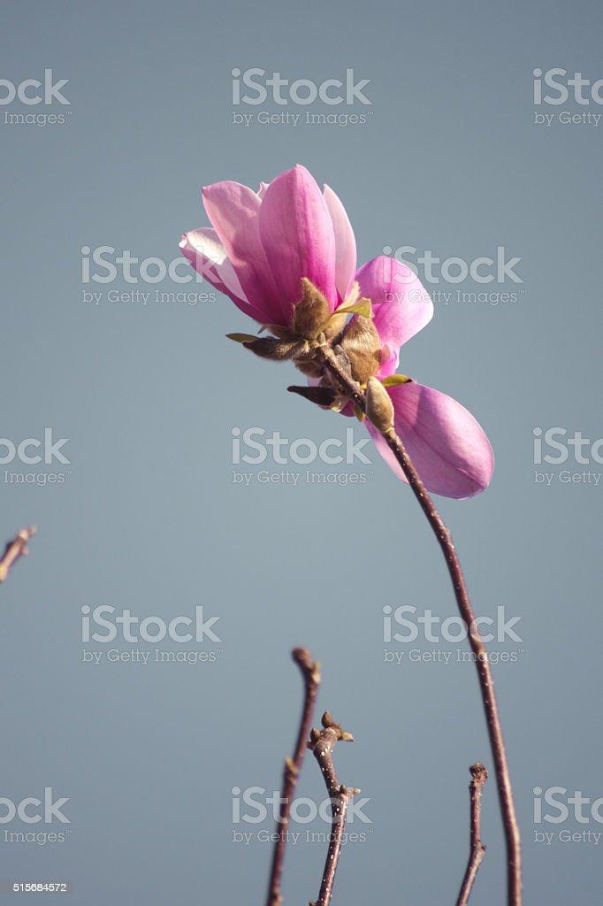 Purple Pink Saucer Magnolia Blossoms Against Vintage Sky Minimal