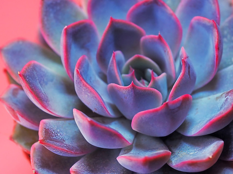 purple pink succulent echeveria close-up, macrophotography, abstract natural background