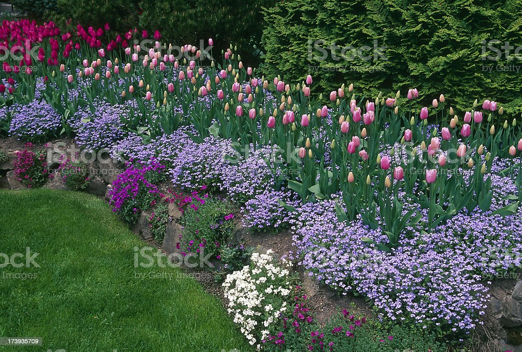 purple pink tulips spring butchart gardens victoria british columbia royalty-free stock photo