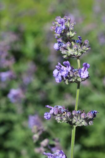 Blue/purple catnip flowers growing in summertime, taken under natural sunlight. Photo was taken in the back garden in Derbyshire UK.