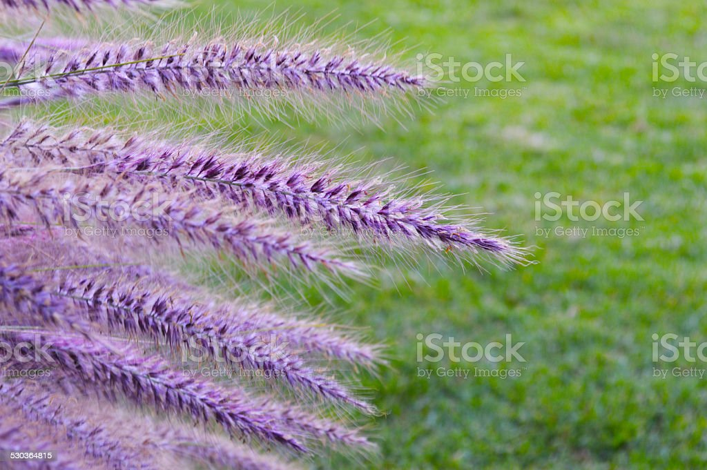 Purple plant in a garden royalty-free stock photo