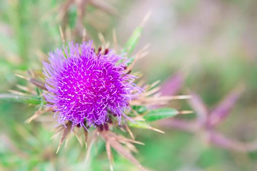 Purple Milk Thistle flower close-up with copyspace