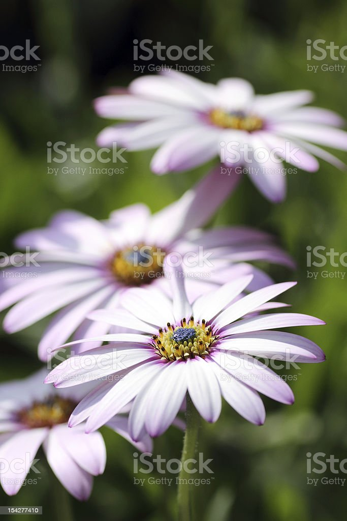 Purple plants royalty-free stock photo