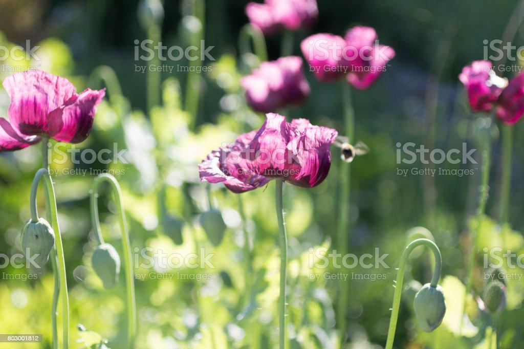 Purple Poppies in the garden stock photo