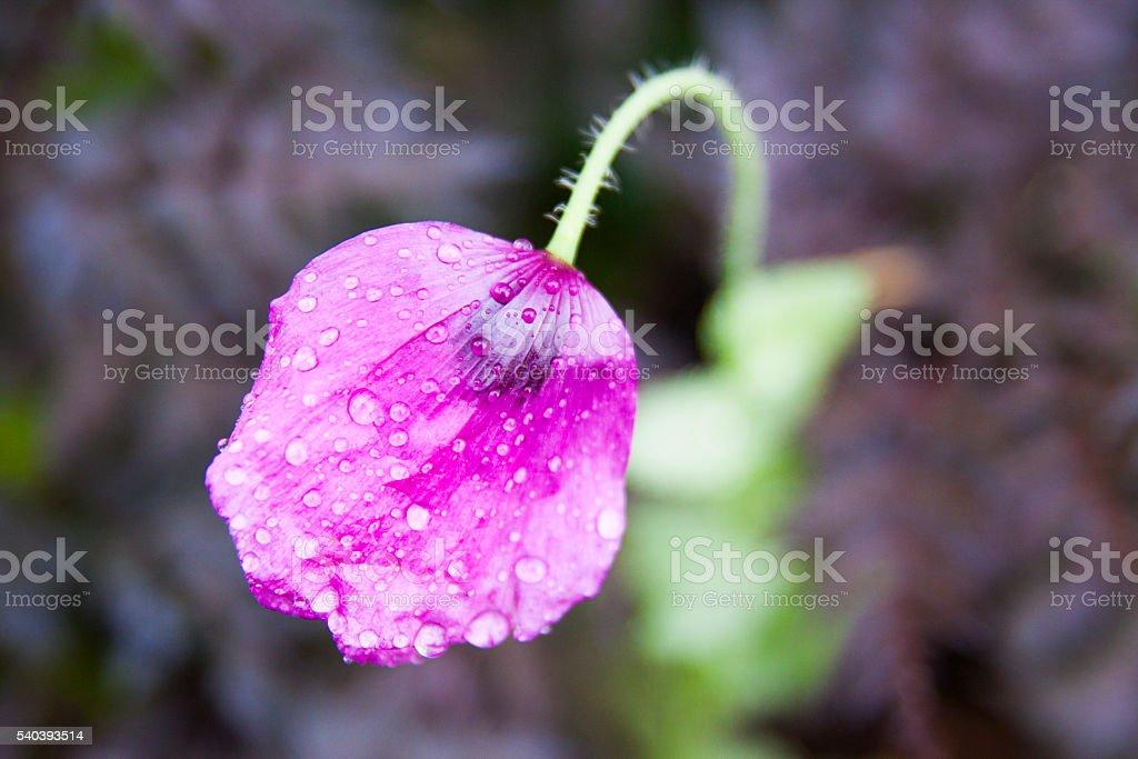 Purple poppies – Foto
