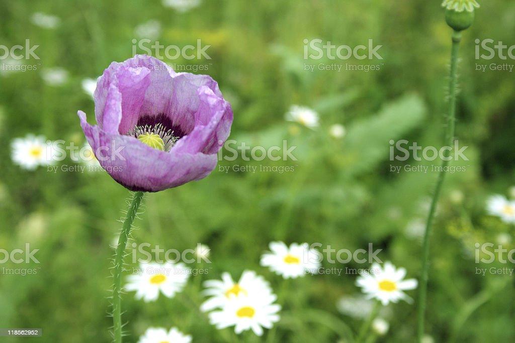 Purple Poppy royalty-free stock photo