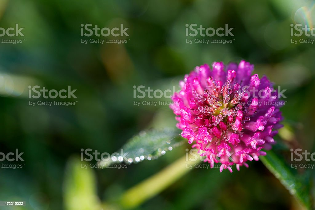 Purple prairie clover with dew drops in the morning sun. stock photo