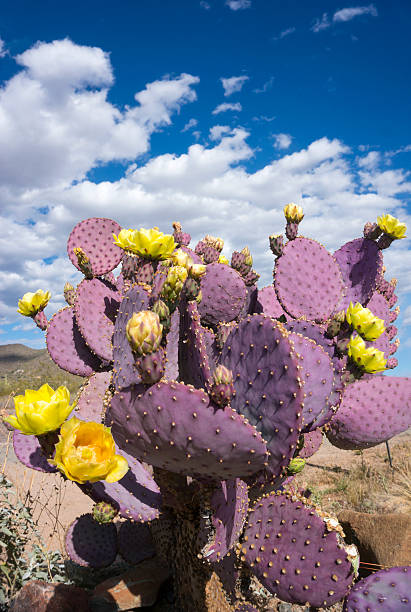 purple prickly pear - spring stock photos and pictures