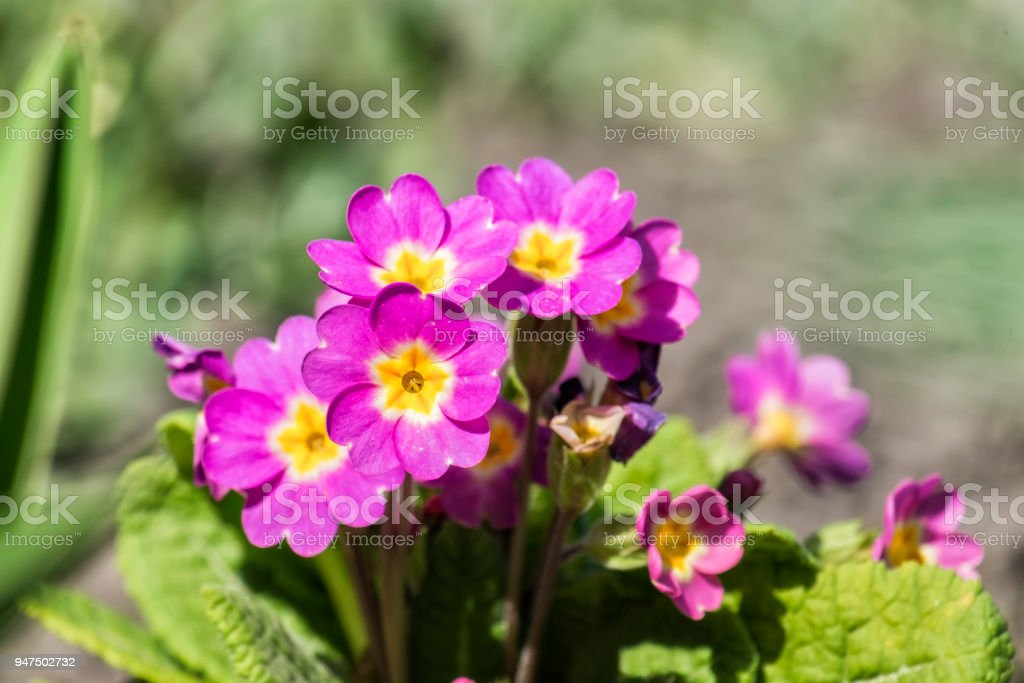 Purple primrose flowers (Primula vulgaris) stock photo