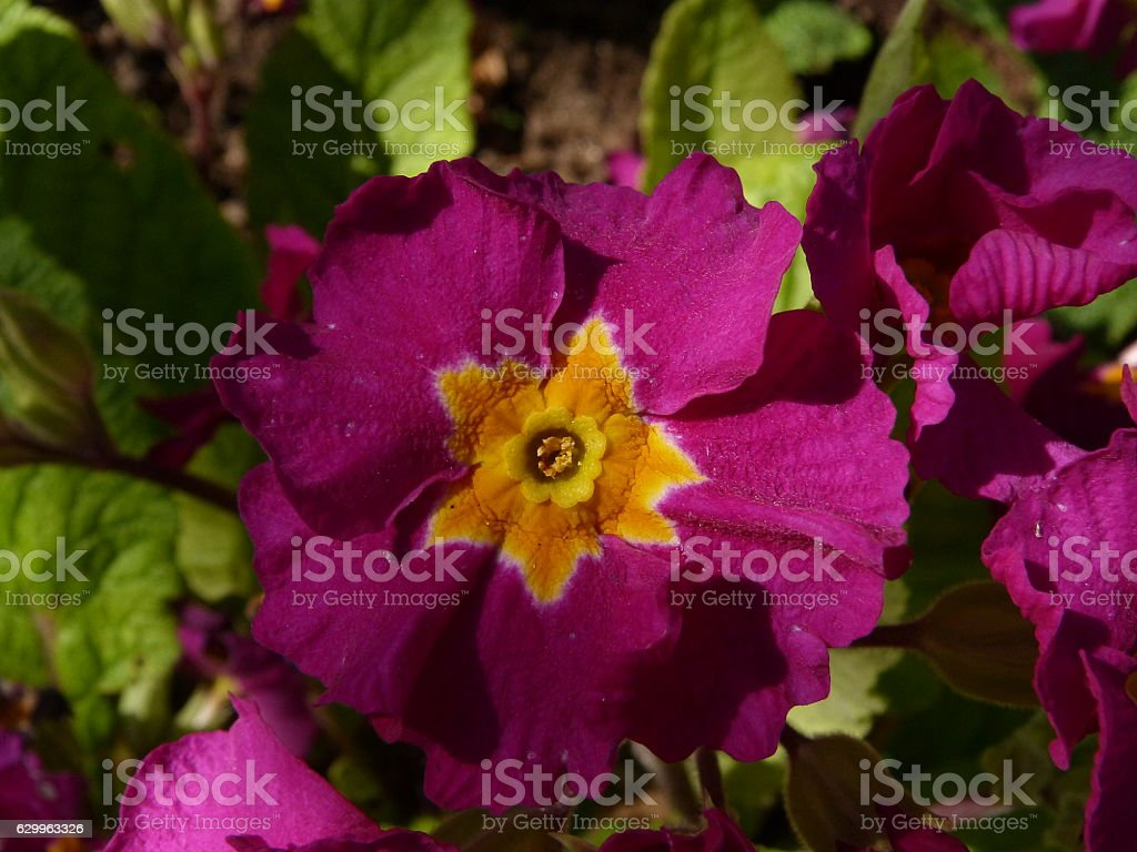 Purple primula or primrose flower stock photo