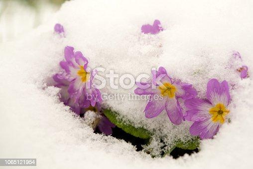 639394370 istock photo Purple primula under the snow. 1065121954