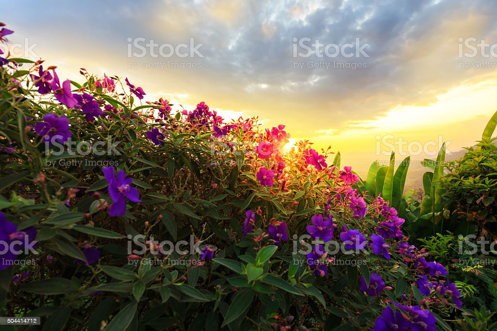 Purple princess or brazilian spider or Glory Bush flower stock photo