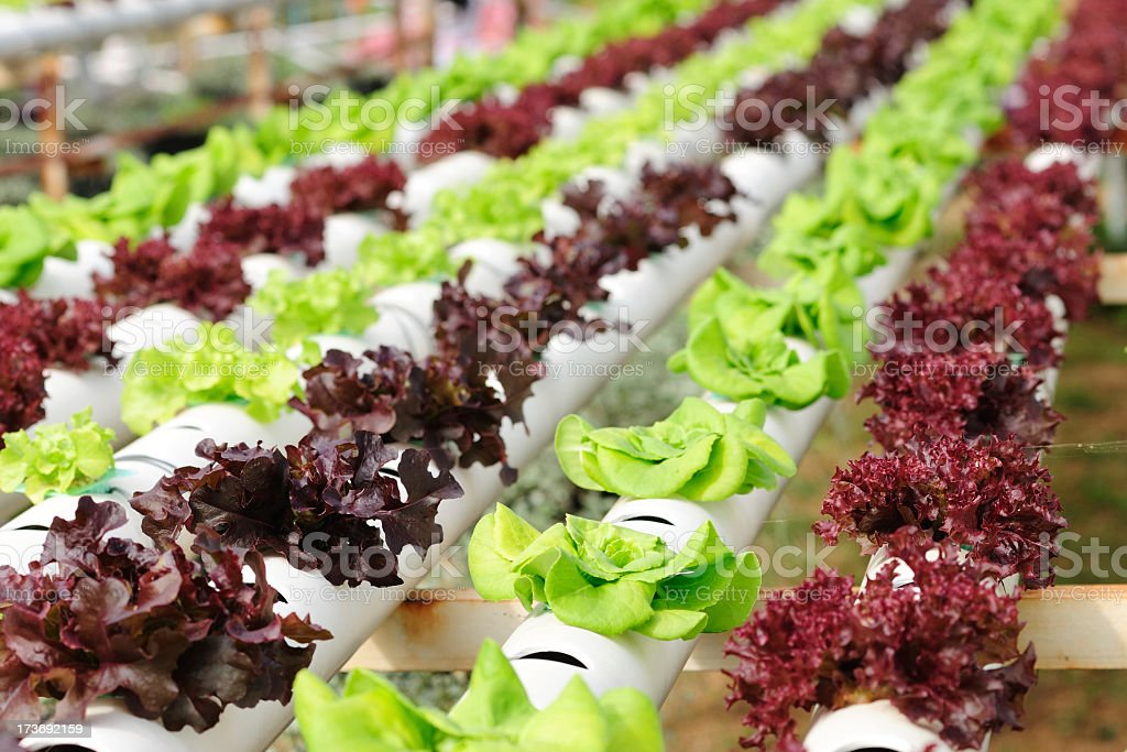 Purple, red and green hydroponic lettuce growing stock photo