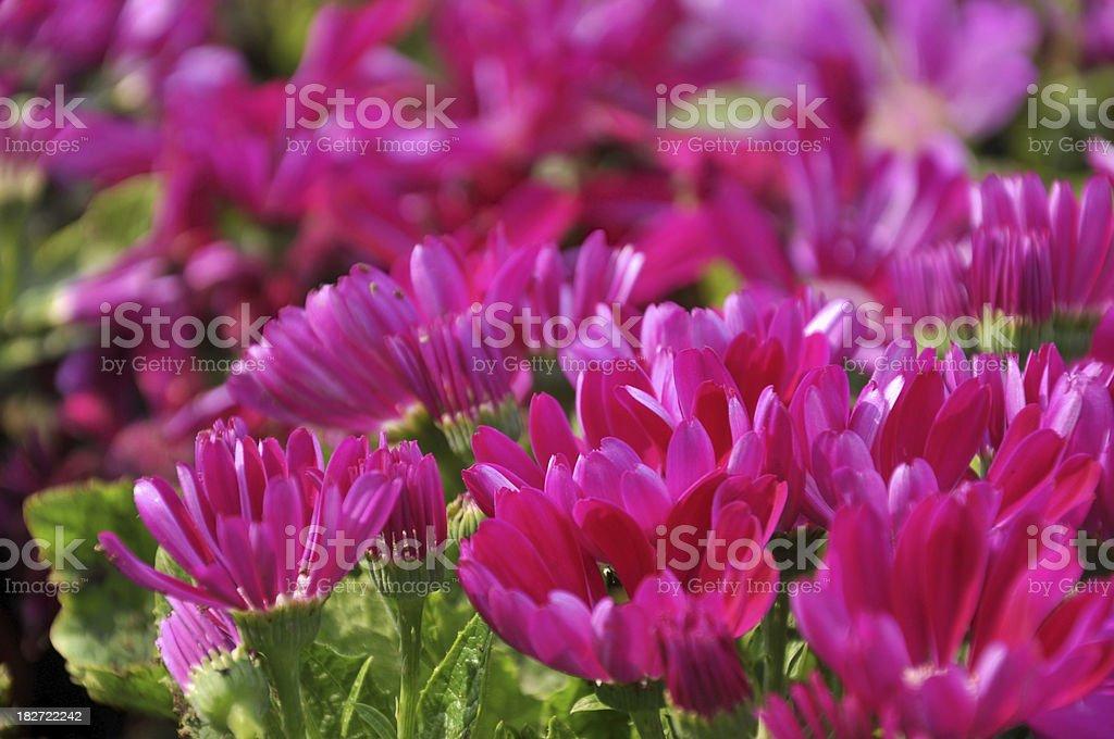 Purple Red Daisy / Chrysanthemum stock photo