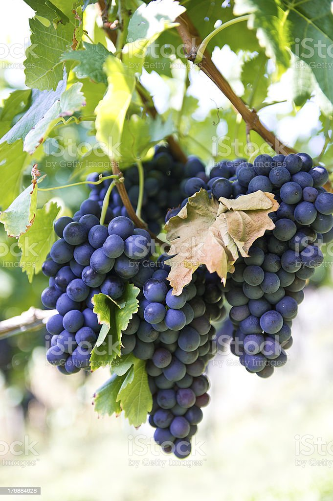 purple red grapes on the vine stock photo