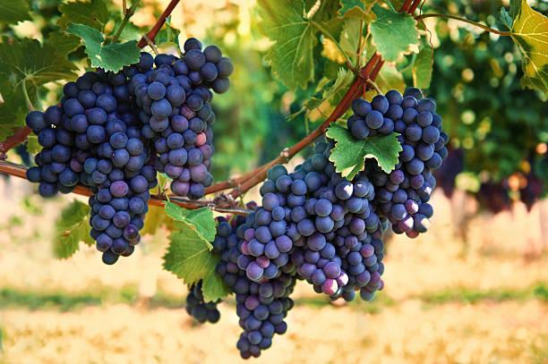 purple roten trauben mit grünen blättern auf der vine - traubensorten stock-fotos und bilder