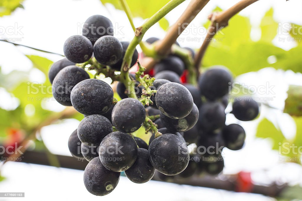purple red grapes with green leaves on the vine royalty-free stock photo