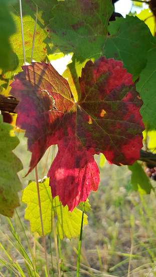 Purple Red Vine Leaf In Sunlight With Green Leaves On Background Colorful Grape Leaf Closeup Among Lush Green Foliage Fall Mood At Vineyard Stock Photo Download Image Now Istock
