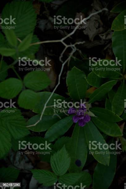 Foto de Rododendro Flor Roxa e mais fotos de stock de Arbusto