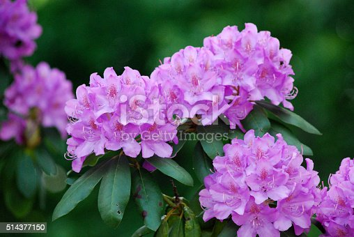 Purple blooms of azalea isolated on white backgrounds.