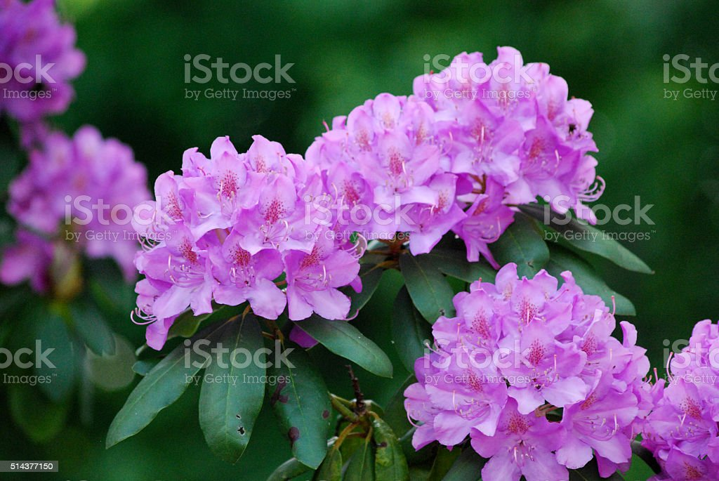 Purple Rhododendron Flowers stock photo