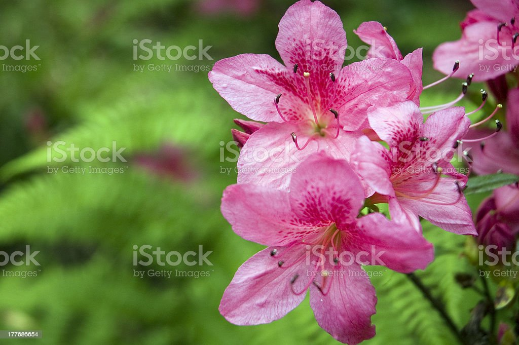 Purple Rhododendron. royalty-free stock photo