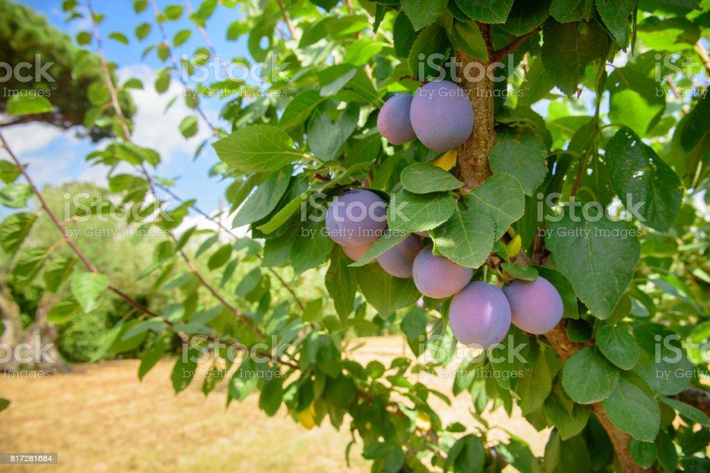 Frutos roxo ameixa madura no ramo de árvore - foto de acervo