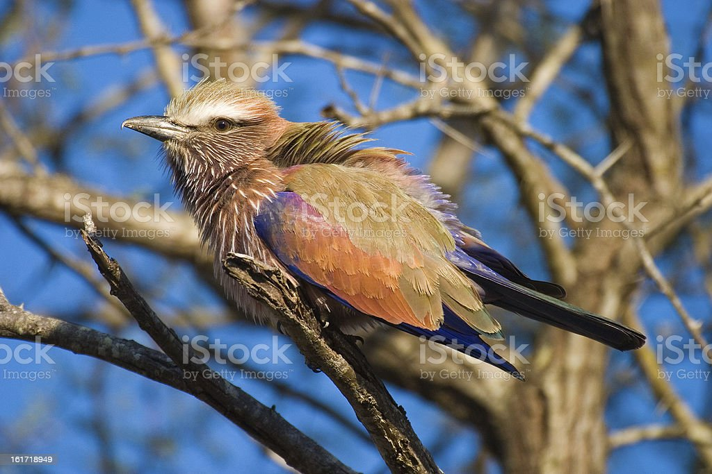 Purple Roller, Mpumalanga Province South Africa stock photo