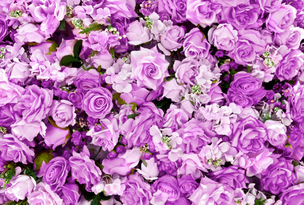 Purple rose flowers bouquet background for Valentine's Day decoration, top view. Purple rose flowers bouquet background for Valentine's Day decoration, top view. lilac stock pictures, royalty-free photos & images