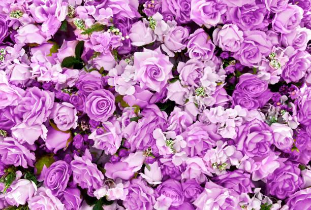 紫色玫瑰花花束背景為情人節裝飾, 頂部視圖。 - 紫色 個照片及圖片檔