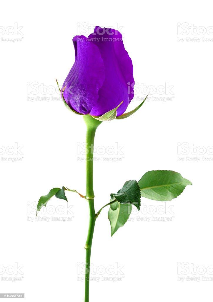 Purple Rose Isolated On White Background Royalty Free Stock Photo