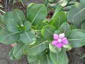 Purple Rose Periwinkle in Flower Garden at Summer or Spring