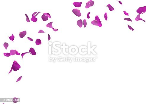 Purple rose petals flying. The center free space for Your photos or text. Isolated white background