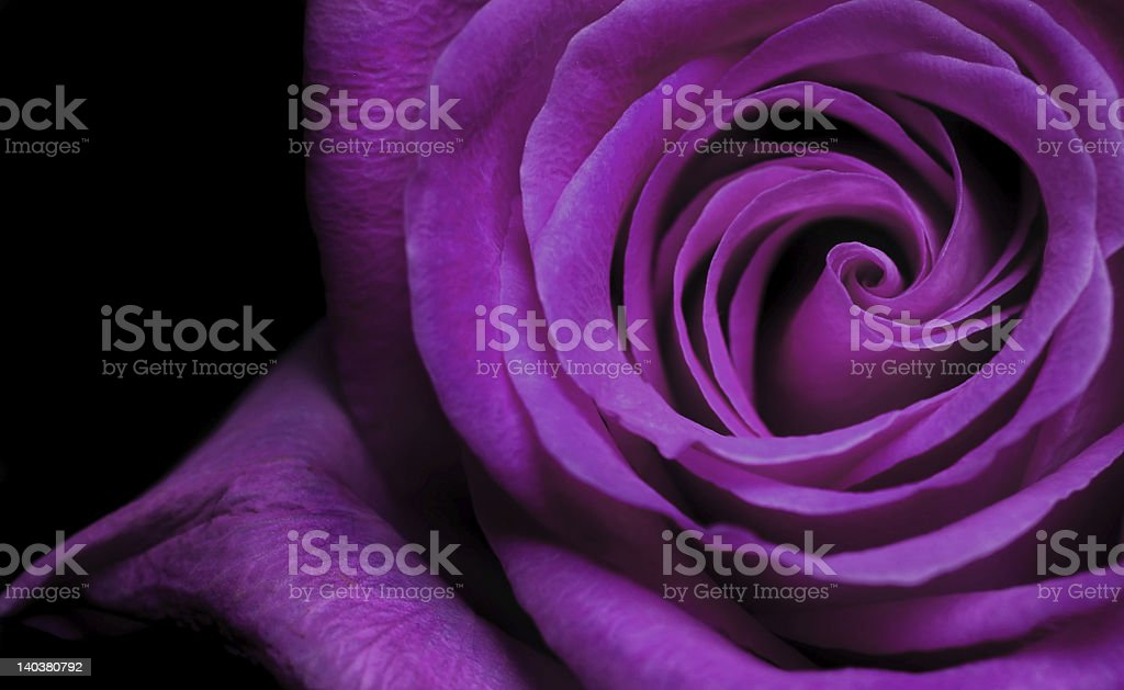 Purple Rose royalty-free stock photo