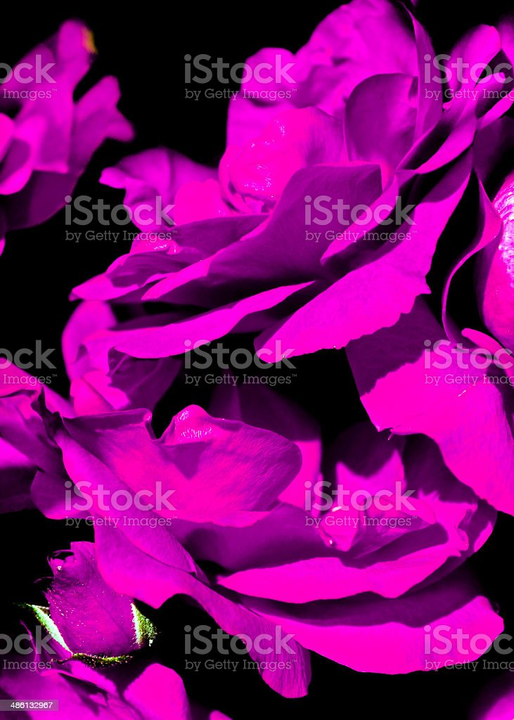 Purple rose. stock photo