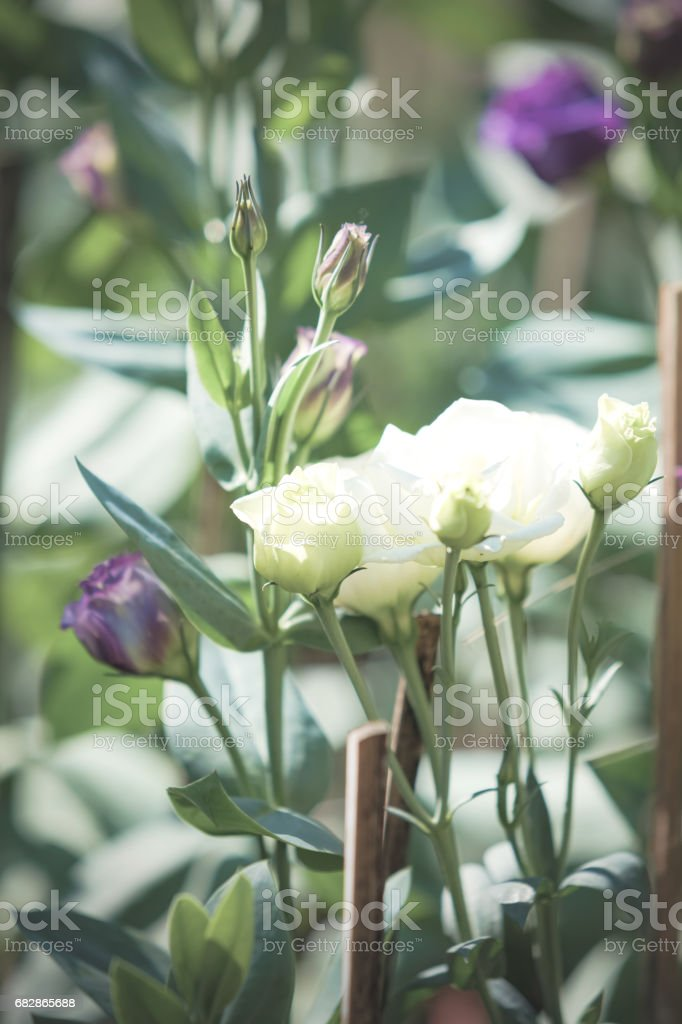 Purple rose. Lizenzfreies stock-foto