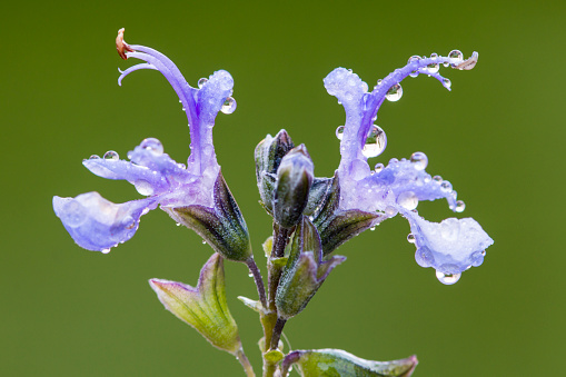 Purple rosemary's flower with green unfocused background