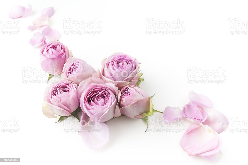 Purple Roses On White Background Flat Lay Top View Royalty Free Stock Photo