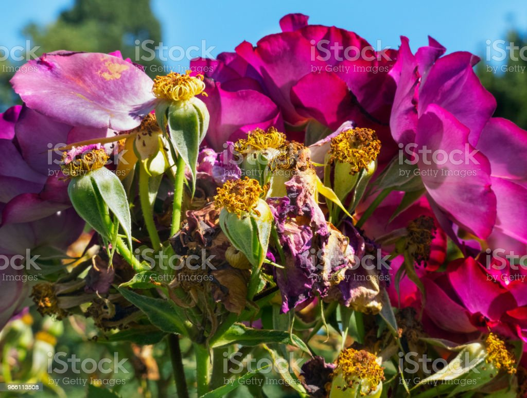 Lila rosor - Royaltyfri Bildbakgrund Bildbanksbilder