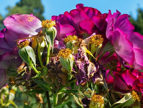 Purple Roses — стоковые фотографии и другие картинки Ароматический