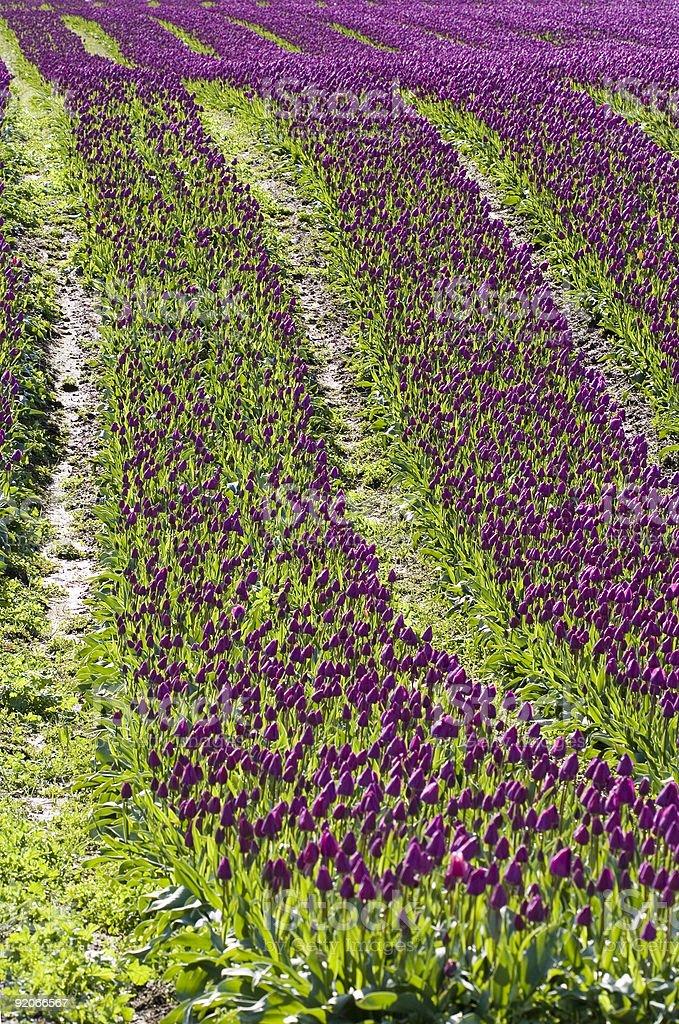 Purple rows stock photo
