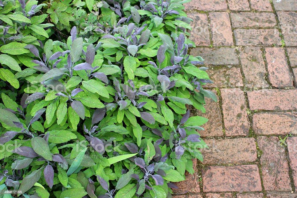 Purple sage bush growing alongside red brick path, block paving stock photo