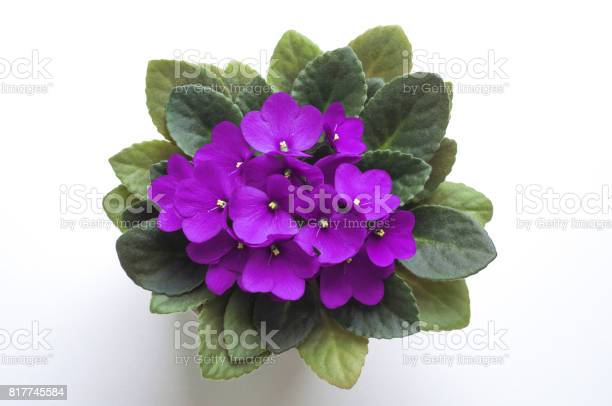 Purple saintpaulia african violet flower from above symbol of and picture id817745584?b=1&k=6&m=817745584&s=612x612&h=jcxho2dhtuwujhi6tdarv1fdjtgp md mjhrrrs8 eu=