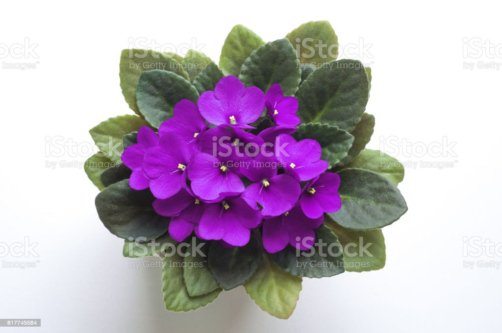 Purple saintpaulia african violet flower from above. Symbol of unaffectedness and faithfulness. stock photo