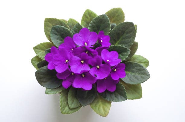 purple saintpaulia african violet flower from above. symbol of unaffectedness and faithfulness. - violet stock photos and pictures
