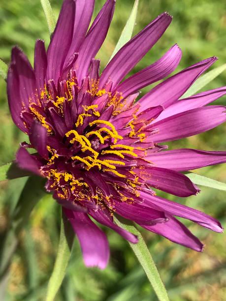 purple salsify, Tragopogon porrifolius stock photo
