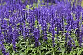 Purple Salvia flowers in an Irish field