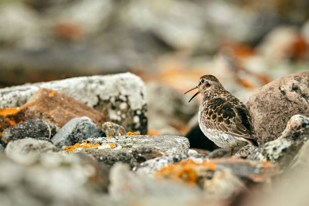 Purple Sandpiper (Calidris maritima) on the beach of Varangerfjord. A bird masking between stones. Wildlife scene from Norway. stock photo